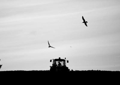 Birds fly over a tractor as a farmer sows new fields.