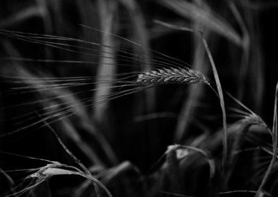 A black and white close up shot of Maris Otter Barley.