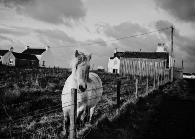 a horse stands in a field next to a caledonian macbrayne advert in islay