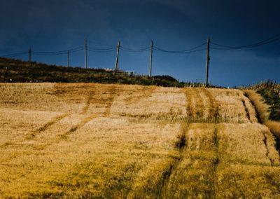 islay barley growing for bruichladdich distillery