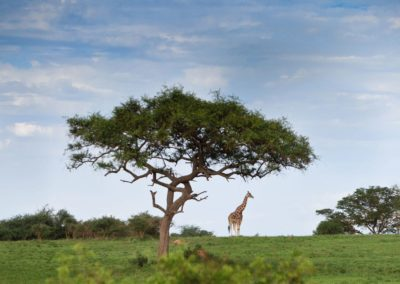 ugandan-girafffe-under-a-tree